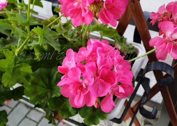Розовая пеларгония, цветущая крупными яркими цветами
